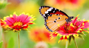 Orange and black butterfly hovering over pink wild flowers