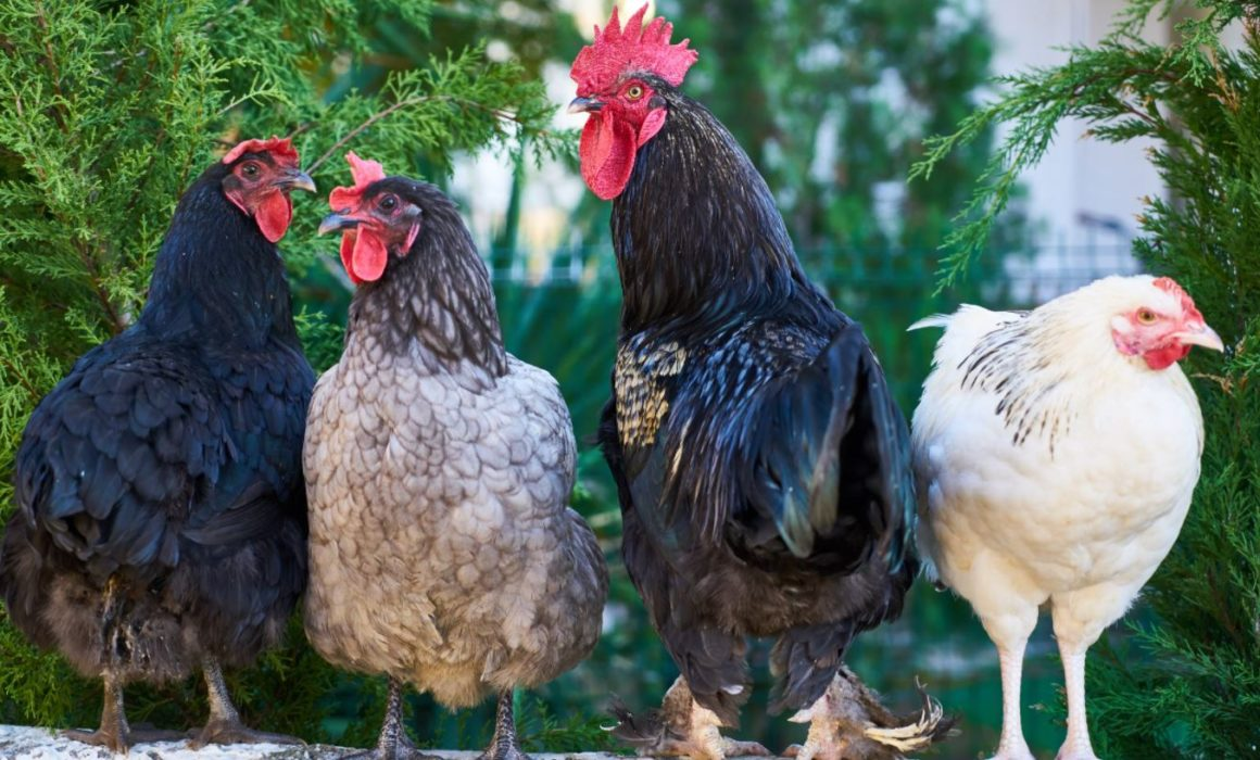 Image of four birds to show poultry as the 10th worst food to eat for greenhouse gas emissions